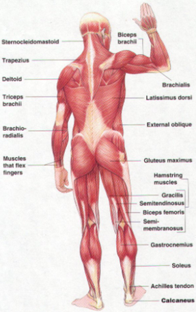 Original image credit: https://www.anatomynote.com/human-anatomy/gross-view/human-muscle-gross-anatomy-anterior-posterior-view/